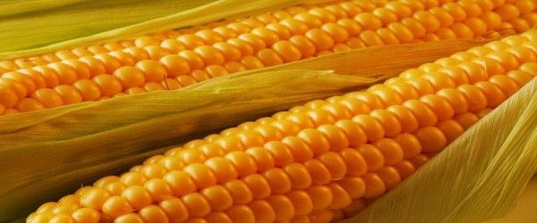 О пользе кукурузы