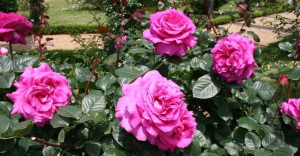 Роза  сила королевы цветов